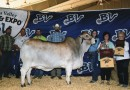 Brazos Valley Fair Junior Show Grand Champion - 2015
